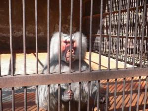 обезьяний питомник Сочи, обезьяний питомник адлер, обезьяний питомник Сухум, обезьяний питомник Абхазия